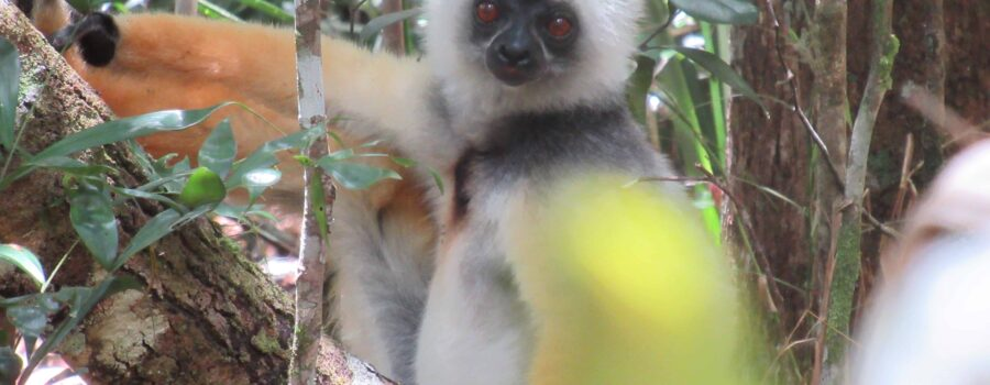 The Wildlife of Andasibe, Madagascar